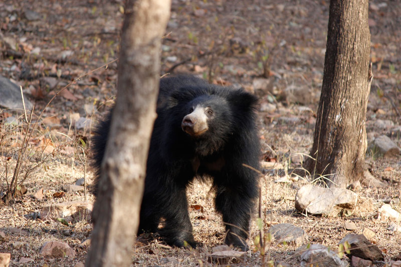 sloth bear in ranthambhore national park