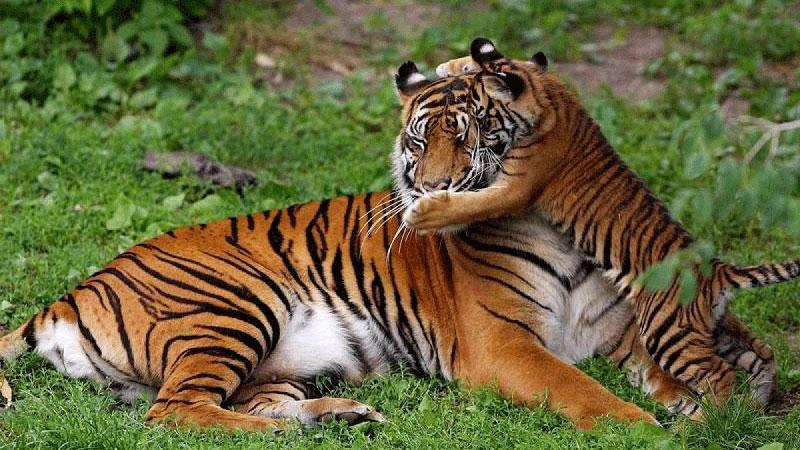 Royal Bengal Tiger in Manas