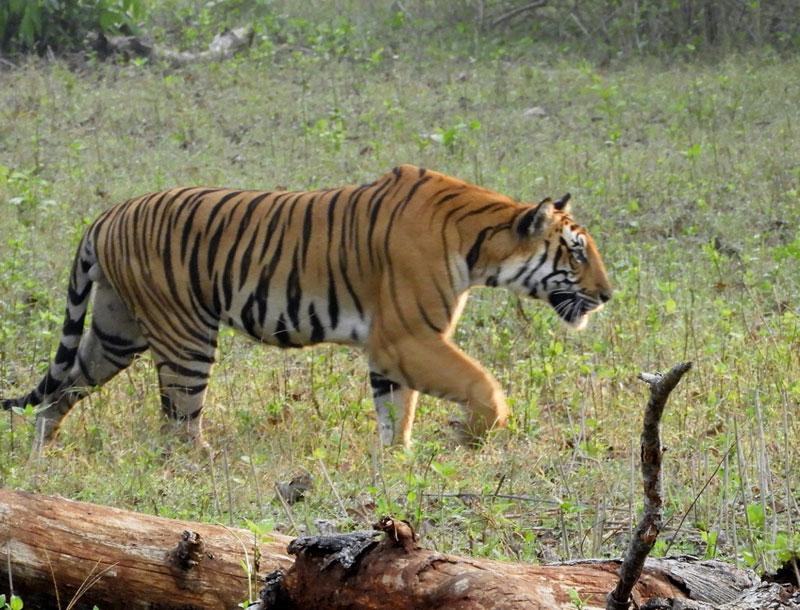 Bengal tiger in Nagarhole National Park