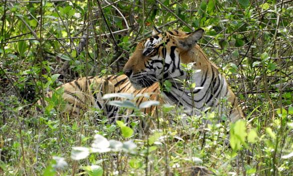 Tiger Karnatka