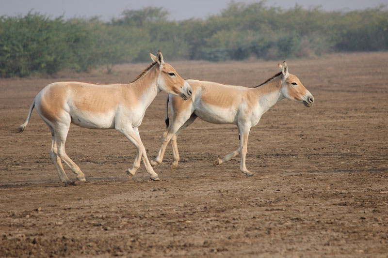 Wild Ass Little Rann of Kutch