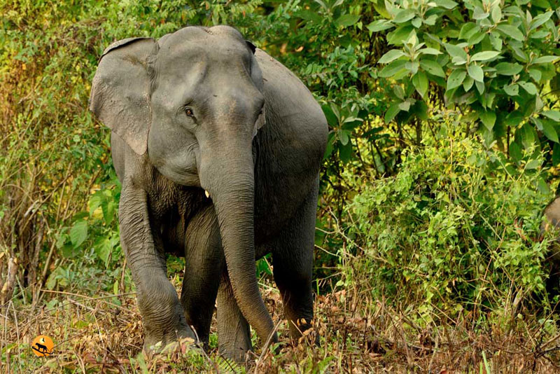 asiatic elephant in manas national park
