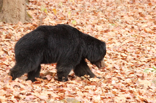bear in Kanha National Park Weekend Getaway