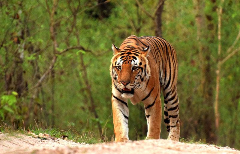 bheema tiger pench