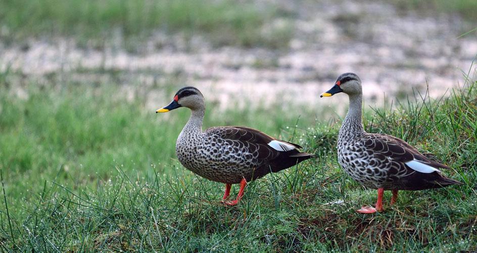 birds tadoba