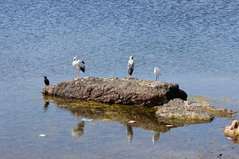 birds ingaibsagar lake