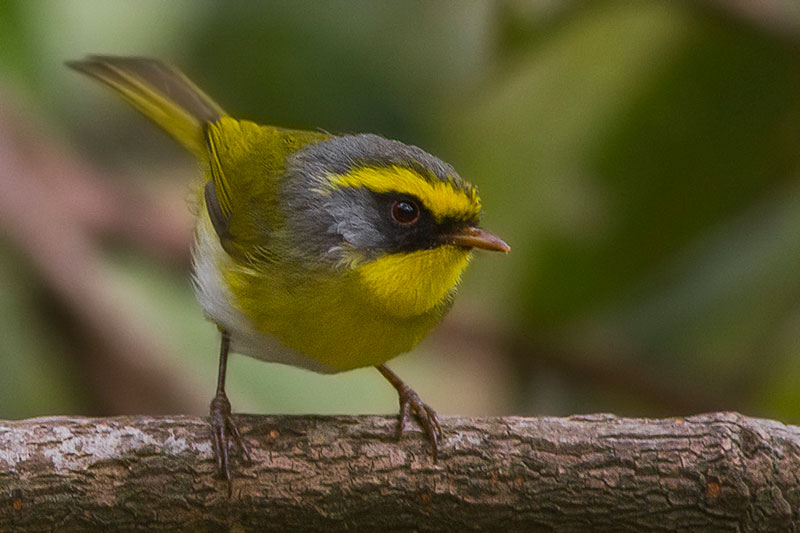 black faced warbler