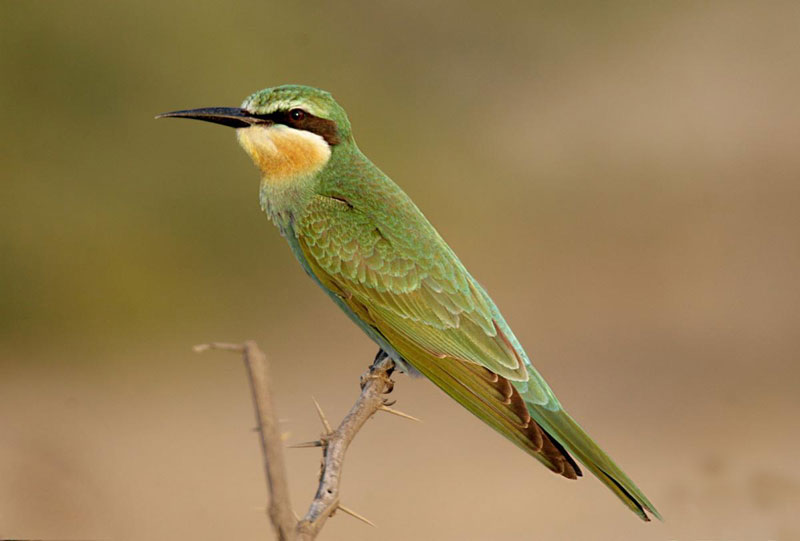 blue cheeked bee eater shivam