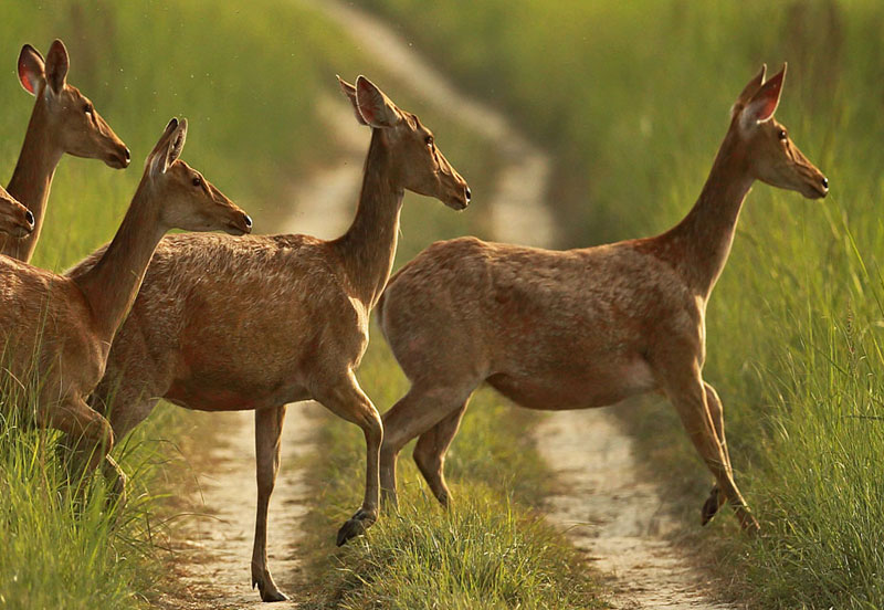 Deer in Dudhwa National Park