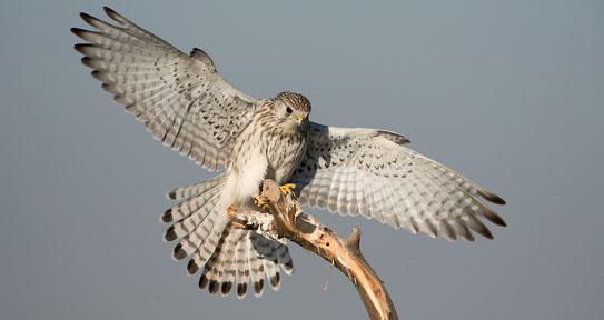 falcon in tal chhapar