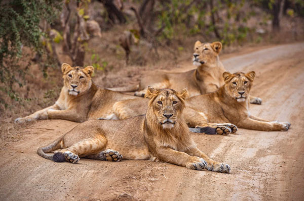 gir natinoal park - Last home of Asiatic lion