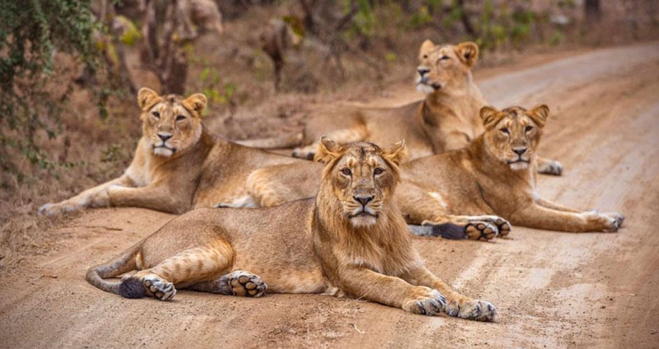 lion in gir national park