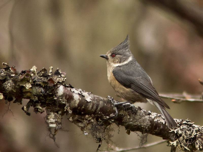 grey crested