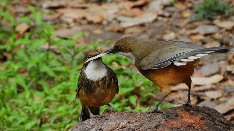 himachal birding