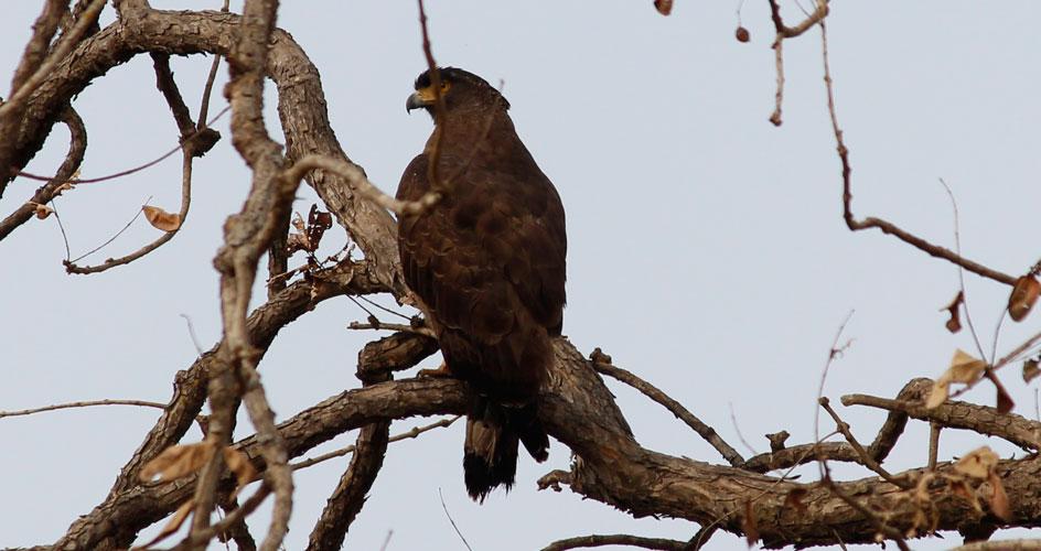 kanha bird