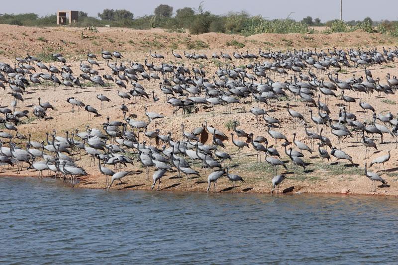 khichan cranes