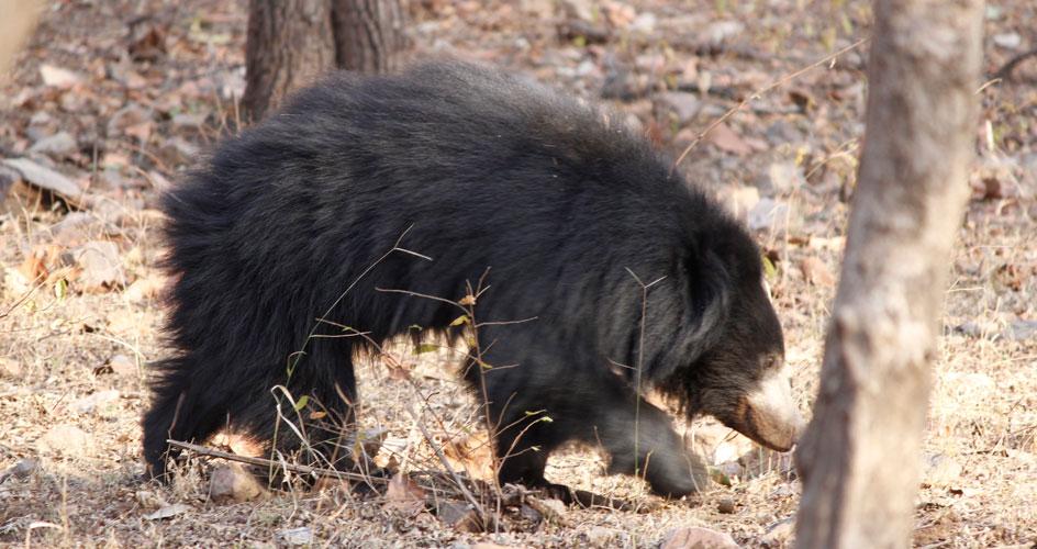 ranthambhore bear