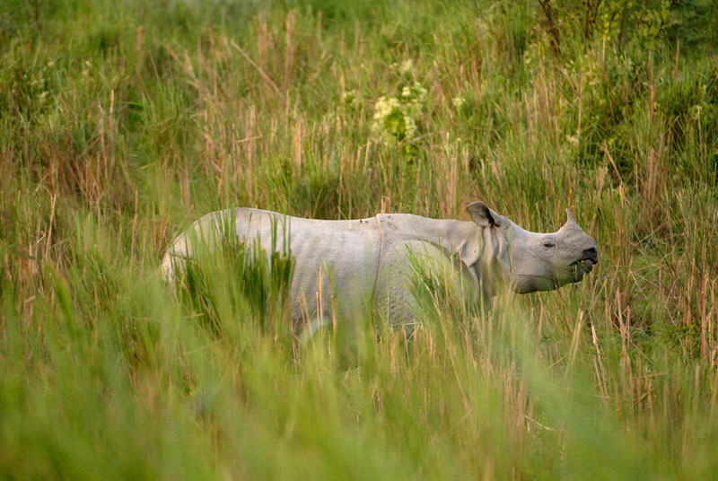rhino in Dudhwa National Park