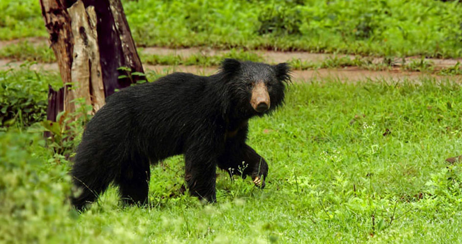 sloth bear in pench national park