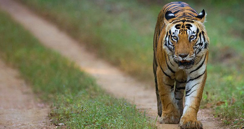 tiger in pench national park