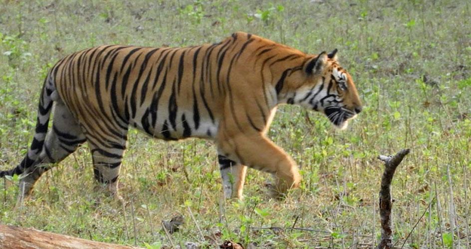 tiger in nagarhole national park