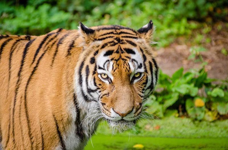 nagzira tiger