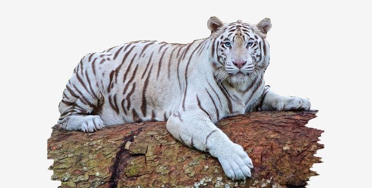 White-tiger-in-bandhavgarh-national-park
