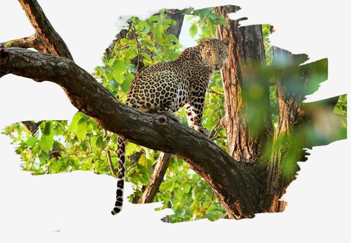 leopards-in-bandhavgarh