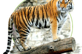 Indian essence royal bengal tiger